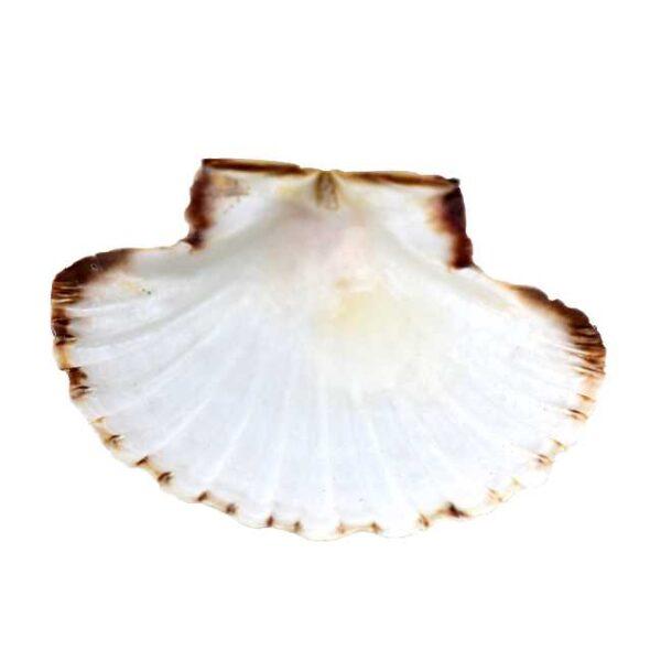 Skall av kamskjell, f.eks. til servering av sjømat